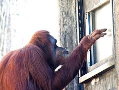 Big Data Chimp